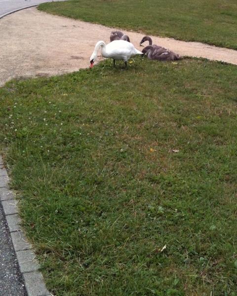 swans_1.jpg